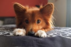 Our dog looks like a fox and always smells like popcorn. 12/10 good boy! http://ift.tt/2inXyTq