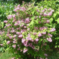 abricotier bergeron arbre en taille scion 80 130cm racines nues abricotier bergeron est un arbre. Black Bedroom Furniture Sets. Home Design Ideas
