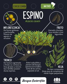 Espino , Acacia Caven #flora #floranima #bosqueesclerofilo #esclerofilo #sclerophyll #espino #infografia #infographic #ilustracion #illustration #planta #plant #botanica #botanical