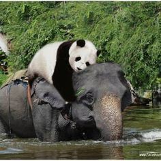 So... pandas ride elephants... ok!