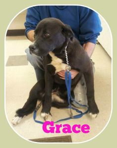 URGENT URGENT!  SHELTER FULL! -GRACE-Labrador Retriever • Adult • Female • Medium. Lawrence County Dog Shelter Ironton, OH. Available for a limited time from the Lawrence County Dog Pound, 1302 Adams Lane Ironton, OH 45638. Please call the dog warden at 740-533-1736 for further details. Unfortunately the pound does not have long distance calling so please call back if we do not return your call. The pound is open Monday-Friday, 10-4, except holidays. The adoption fee is $30 for Dogs and…