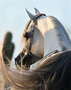 Baha AA :: Arabian horses of Aria International #ArabianHorseAssociation