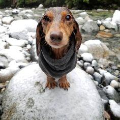Amazing! A #dachshund that will walk in the snow. Ha, ha.