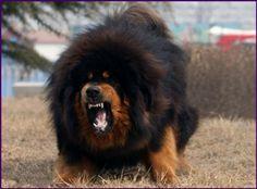 Caucasian Ovcharka/Russian Bear dog it says but looks like a Tibetan mastiff to me Tibetan Dog, Tibetan Mastiff Dog, Mastiff Mix, Mastiff Dogs, Big Dogs, Cute Dogs, Dogue Du Tibet, Russian Bear Dog, Most Expensive Dog