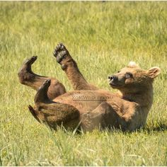 Nothing like a good back scratch in the meadow  Chinitna Bay Alaska  #Bear #Grizzly #GrizzlyBear #BearsOfInstagram #AnimalKingdom #Animal #Animals #Alaska #AlaskaBear