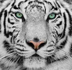 Fotobehang witte tijger: eyecatcher muur living.