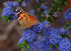 – You can attract butterflies to your garden and enjoy one of most beautiful animals in nature. Simply provide a few essentials for the stages of their lives. Butterfly Plants, Orange Butterfly, Butterfly Wings, Butterfly Kisses, Butterfly Bush, Blue Flowers, Red Roses, Tropical Flowers, Summer Flowers