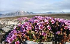 Common in alpine gardens, the purple saxifrage is a small flowering plant that has been discovered growing in record-setting grueling conditions, including in the coldest climates and at one of the highest altitudes in the world. Hardy Perennials, Hardy Plants, Conservation, Small Flowering Plants, Arctic Landscape, Alpine Garden, Flower Close Up, Landscaping Plants, Lily Of The Valley