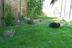 Alle 4 - Charlie, Pippi, My og Karl. Alle 4 er neutraliserede og render frit i haven døgnet rundt, året rundt.   Få inspiration til fritgående udekaniner på http://www.kaninsnak.dk   #kaniner #huskaniner #kaninhaandbogen