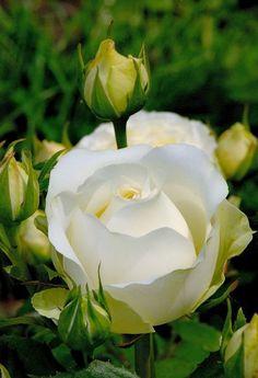 Resultado de imagem para beautiful white roses