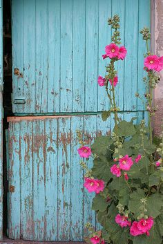 Turquoise shed and hollyhocks