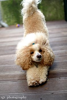 apricot and white parti poodle stretching