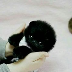 This is the most cuttest teacup pomeranian ever.