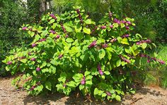 Dwarf Purple Smoke Bush