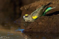 A Meyer's Parrot. (Photo By: Mike Dexter on 500px.)