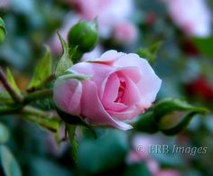 Pretty in Pink Fine Art Photograph Pink Rose for Mothers Day