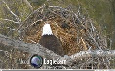 Animal Cam: Bald Eagles [updated]