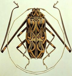 Brigid Edwards Acrocinus longimanus (Harlequin Beetle) 2005