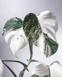 The brand new Monstera leaf! The brand new Monstera leaf! ☁️☁️☁️ To everyone who thinks that variegated Monstera is a slow growe Exotic Plants, Green Plants, Tropical Plants, Air Plants, White Plants, Plantas Indoor, Belle Plante, Variegated Plants, Plants Are Friends