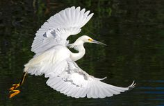 Snowy Egret in flight. Animals Of The World, Animals And Pets, Planet Love, New China, Eagle Wings, Cool Tats, Bedroom Murals, Herons, Bird Drawings