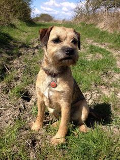 Border Terrier #Dogs #Puppy-96% compatible with the family situation in case Princess does not like cats