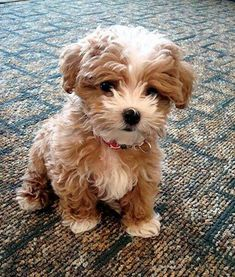 This is a golden doodle it is so so cute I really want one