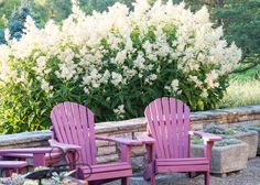 60 best persicaria images on pinterest garden plants outdoor now that the beautybush has faded pride of place goes to the amazing perennial giant white fleece flower persicaria polymorpha mightylinksfo