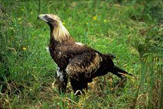 jpg] A rare sight, a Wedge-Tailed Tasmanian eagle. Here in a park, a hurt one that can't fly. I saw several from afar during my bike trip on Brusny Island. Birds Of Prey, Tasmania, Eagles, Bald Eagle, Wedge, Hiking, Creatures, Bike, Island