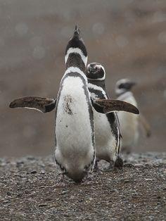 Magellanic Penguin - Spheniscus magellanicus by Fabrice Schmitt on Flickr