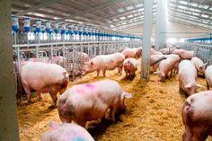 Agricultura destina más de 1,4 millones de euros para la gestión de purines en explotaciones porcinas en la Región de Murcia
