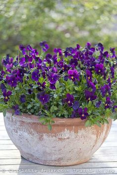 deep purple pansies
