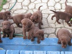 LABRADOR – Who can resist a lab puppy?! ❤ chocolate lab puppies