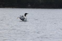 Loon Dance on Lost Dog Lake in Algonquin Park