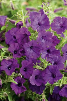 Supertunia Indigo Charm has smaller blooms, but will go the distance in the landscape all summer long!