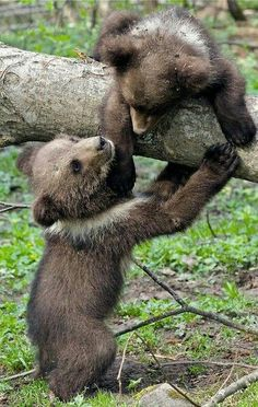 Playtime For Bear Cubs!