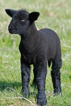 Black sheep  -  so beautiful. Baa Baa Black Sheep have you any wool? It's all for me. You must agree. I need to keep my coat real full.