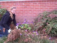 How to Prune Your Hardy Geranium or Cranesbill (Or: Ode to 'Rozanne') (Video Tutorial)  by GENEVIEVE on DECEMBER 8, 2008