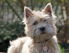 ¡Lindos perritos, muy alegres y vivaces! Sí, hoy te presentamos a los Cairn Terriers.