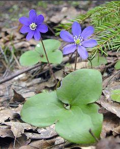 Anémone hépatique, Hepatica nobilis - Fleurs - NatureGate