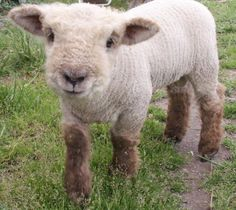 Babydoll Southdown. These are the sheep we have! Can't wait for more spring lambs!
