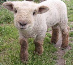 Babydoll lamb