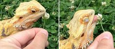 17 Adorable Animals Smelling Flowers - This bearded white dragon thinks that white clovers smell good enough to eat!