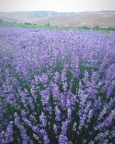 Lavender field, Romania // @adelinasgray