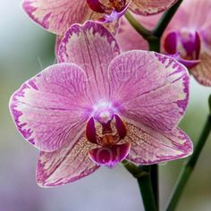 Sacred Really Like - 22 Solutions That Should Change The Tide In Your Daily Life Along With The Lives Of Any Individual Moth-Orchid: Phalaenopsis 'Privateer Picotee' Unique Flowers, Fake Flowers, Purple Flowers, Beautiful Flowers, Orchid Flowers, Greenhouse Plants, Garden Plants, Moth Orchid, Ways To Show Love