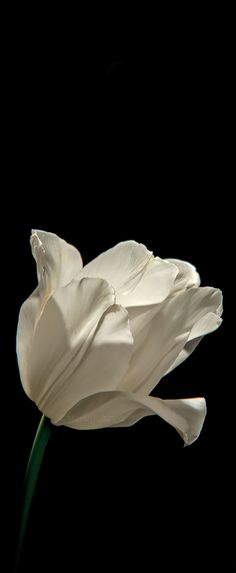 The white delicate Tulip.  Photography by Marita Toftgard Sweden.