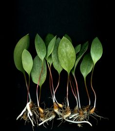Erythronium americanum by horticultural art on Flickr.