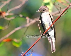 Songbird Photograph  Eastern Wood Pewee  by FeatherWindStudio, $28.00