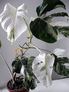 http://green-24.de/forum/monstera-deliciosa-26quot-variegata-26quot-t53574-105.html | #plantwishlist