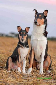 Words can't even express how badly I want to rescue one of these beautiful pups. Collie Puppies, Collie Dog, Dogs And Puppies, Smooth Collie, Rough Collie, Beautiful Dogs, Animals Beautiful, Dog Abuse, Baby Animals