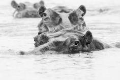 3 Happy Hippos